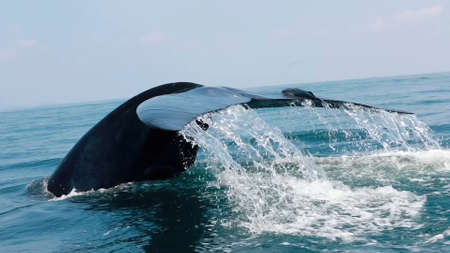 Whale tail sticking out of the water. The tail of a huge whale in the ocean. A blue whale shows a tail in water.