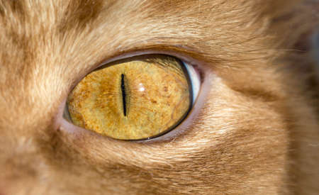 eye red: Close up image of cats eye Red orange fur cat head eye macro narrow black pupil