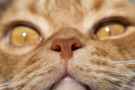 nose close up: Cat nose close up photo with eyes in remote perspective Red Animal Color Stock Photo
