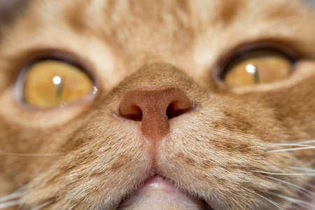 nariz roja: La nariz del gato de cerca la foto con los ojos en perspectiva remota del color rojo Animal