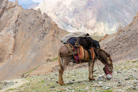 pack animal: Pack animal carrying sheep decorated with traditional harness and other gear for transportation of load on wild deserted mountain area Stock Photo