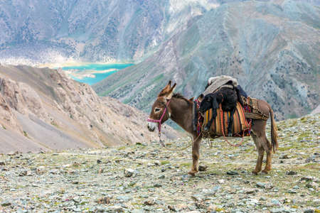 pack animal: Pack animal carrying sheep decorated with traditional harness and other gear for transportation of load on wild deserted mountain area blue lake perspective Stock Photo