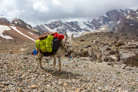 pack animal: Pack animal carrying sheep decorated with traditional harness and other gear for transportation of load on wild deserted mountain Stock Photo
