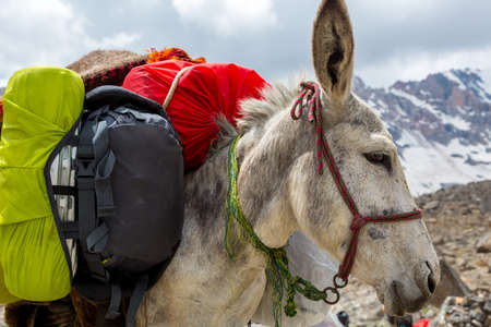 pack animal: Pack animal close-up carrying sheep decorated with traditional harness and other gear for transportation of load on wild deserted mountain area