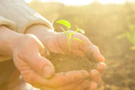 trabajo manual: Old Peasant Hands holding green young Plant in Sunlight Rays Foto de archivo