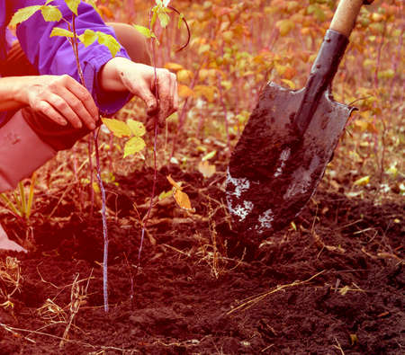 Person seeding young Tree into the Soil close up