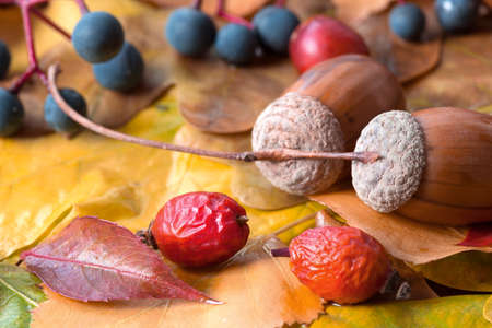 Brown acorn on autumnal leaves close up