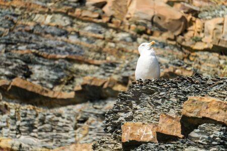 Black sea seagull