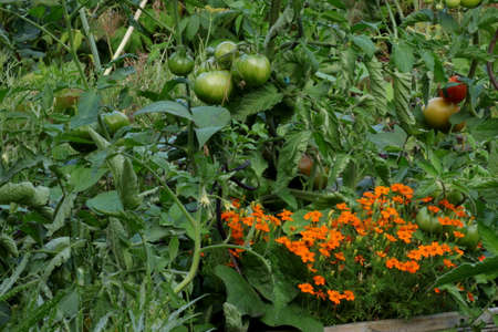 Some vegetables in the garden