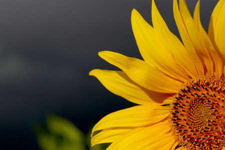 helianthus: sunflower