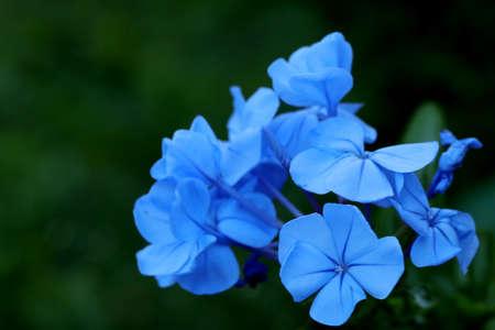 plumbum: Blue garden flowers Stock Photo