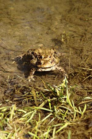 Common toad couple Фото со стока