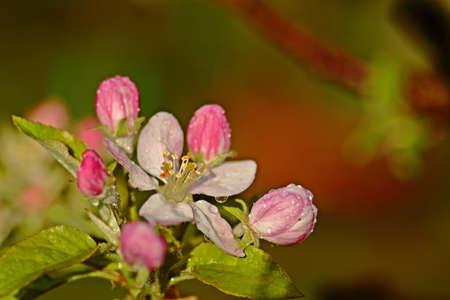 Apple flowers in spring Stock Photo