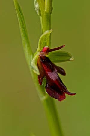 Fly orchid flower Stock fotó