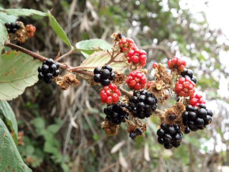 blackberries in the wild
