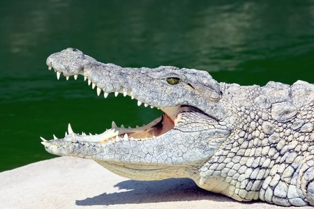 Crocodile lying on a shore of pond Stock Photo