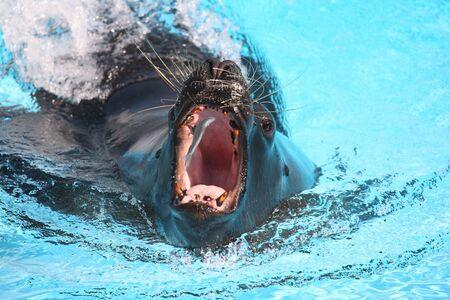 Sea lion catching a fish in  aquarium