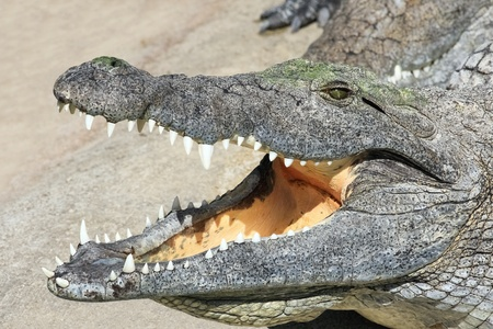 alligator eyes: Portrait of a crocodile lying with open mouth