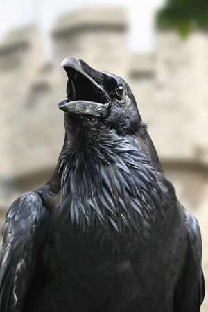 Black raven from the Tower of London Stock Photo
