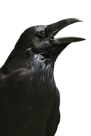 bird's eye view: Black raven from the Tower of London isolated on white Stock Photo