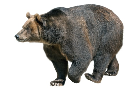 oso: Gran oso pardo aisladas sobre fondo blanco Foto de archivo