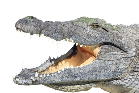 Crocodile lying with open mouth isolated on white background