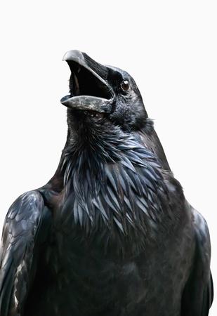 pluma blanca: Cuervo negro aislado en blanco
