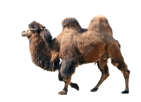 Going  bactrian camel isolated on white background