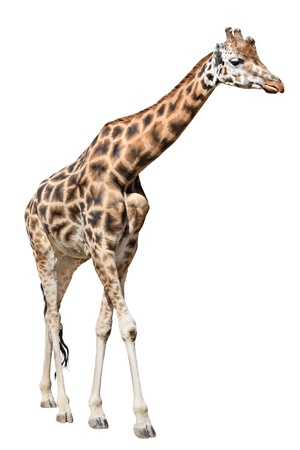 Going  giraffe isolated on white background