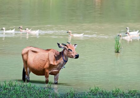 Indonesian cow standing in a pond photo