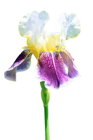 Iris flower isolated on white background