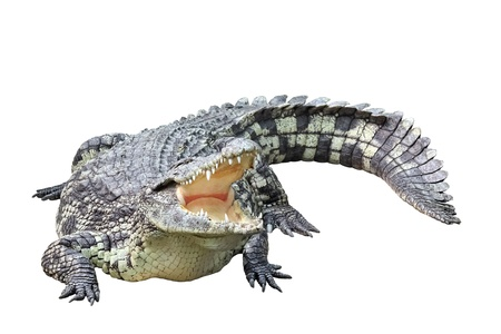 alligator eyes: Lying crocodile isolated on white background Stock Photo
