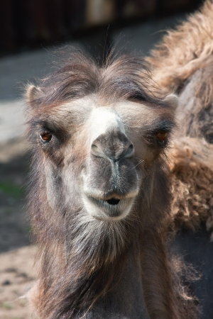 Portrait of the big bactrian camel