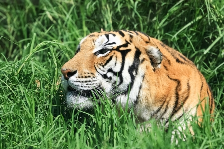 panthera tigris: Portrait of tiger lying in the grass Stock Photo