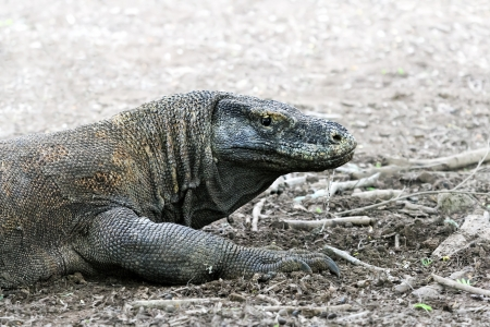 komodo: Dragon lizard at the forests of Komodo Island (Indonesia) Stock Photo