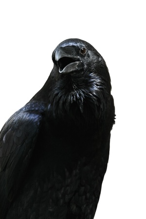 Black raven from the Tower of London isolated on white background, London (UK) Stock Photo