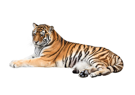 tiger white: Portrait of a lying tiger isolated on white