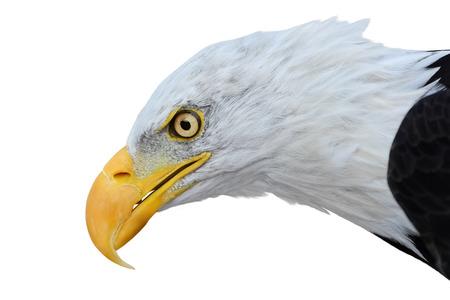 aguila calva: Retrato de águila calva aislado en blanco