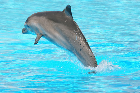 dolphin jumping: Dolphin jumping out of water