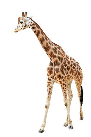 Walking giraffe isolated on white background photo