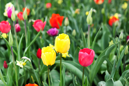 Multicolored tulips with beautiful blurred background. Focus is pointed at the center yellow flower