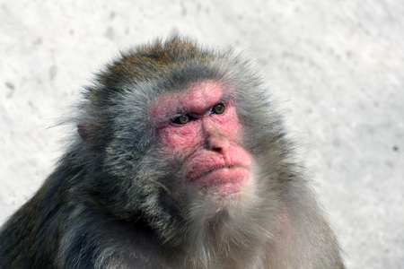 Macaque monkey with skeptical look Stock Photo