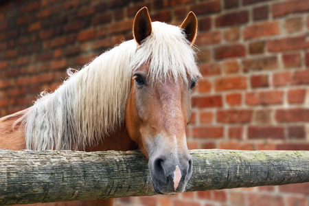 Portrait of horse of palomino color in the stall