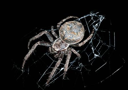 Hunting spider in night darkness (Larinioides ixobolus) Stock Photo