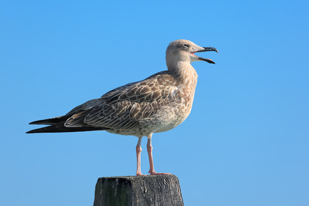 Young seagull standing on a log, Venice - Italy Stock Photo