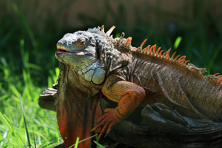 Portrait of colorful iguana in backlight Stock Photo