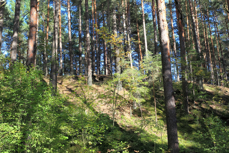 Landscape with pines on the dune, Lielupe - Jurmala - Latvia