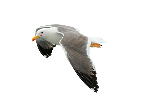 Beautiful seagull isolated on white background 免版税图像