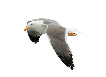 Beautiful seagull isolated on white background Stock Photo