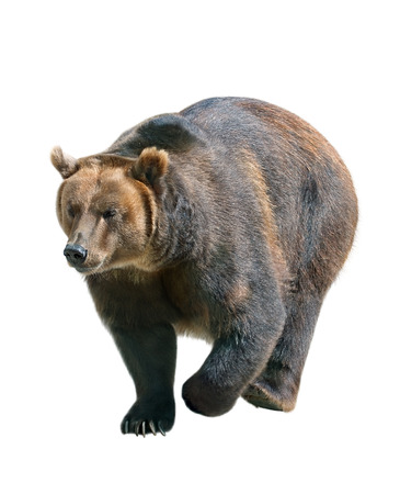 oso blanco: Marrón de peluche aislado en el fondo blanco, Siberia - Rusia